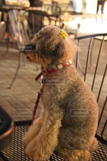 椅子に座っている犬の写真・画像素材[1193518]