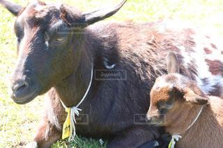 カメラを見て牛の写真・画像素材[1193596]