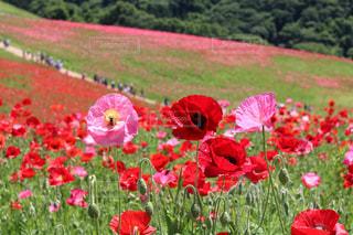 フィールドに赤い花の写真・画像素材[1194609]