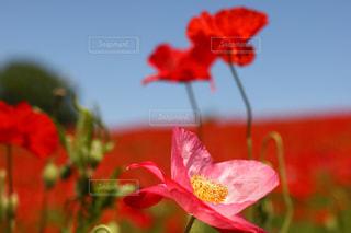 赤い花の写真・画像素材[1194695]