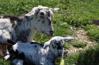 晴れた日に草を食べる羊のグループの写真・画像素材[1194729]