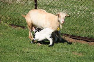 羊草の覆われてフィールド上に立ってのカップルの写真・画像素材[1194731]