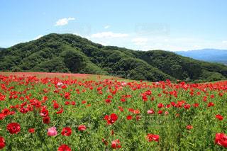 大輪の赤い花は緑豊かな緑のフィールドに立っています。の写真・画像素材[1194732]