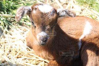 干し草を食べるヤギの写真・画像素材[1195611]