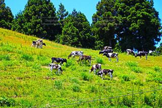 緑豊かな緑の草原に放牧牛の群れの写真・画像素材[1196391]