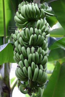 木からぶら下がって緑のバナナの束の写真・画像素材[1197575]