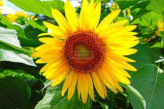 緑の葉と黄色の花の写真・画像素材[1199960]