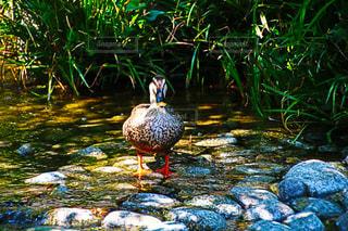 水の中のアヒルの写真・画像素材[1201497]