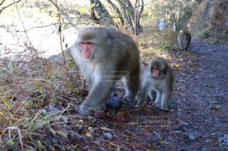 草の中に立っている猿の写真・画像素材[1203166]