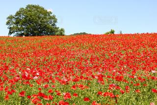 フィールドに大輪の花の写真・画像素材[1217474]