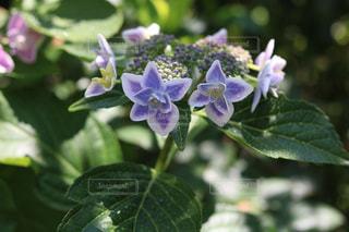 紫,鮮やか,紫陽花,アジサイ