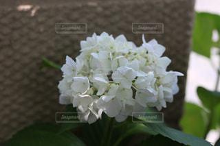 花,白,鮮やか,紫陽花,アジサイ