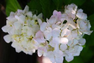 花,白,鮮やか,ハート,紫陽花,アジサイ