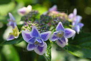 花,紫,鮮やか,紫陽花,アジサイ