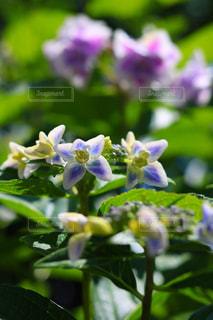 花,ピンク,青,鮮やか,紫陽花,アジサイ