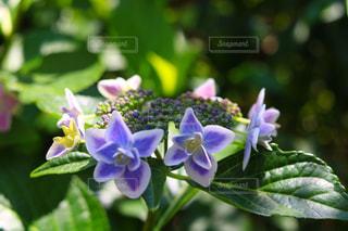 花,鮮やか,紫陽花,アジサイ
