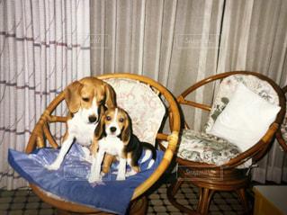 椅子に座っている犬の写真・画像素材[1233318]
