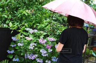 女性,花,傘,屋外,紫陽花,人物,梅雨,6月,アジサイ