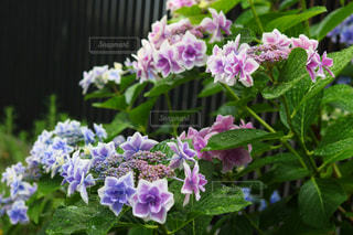 雨,屋外,紫陽花,梅雨,6月,アジサイ