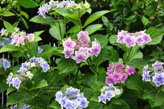 花,雨,紫陽花,梅雨,6月,アジサイ