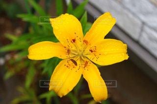 花,雨,黄色,梅雨,6月,百合,ユリ