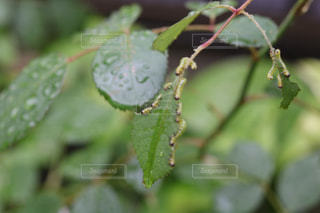 雨,梅雨,6月,毛虫,害虫,薔薇の木