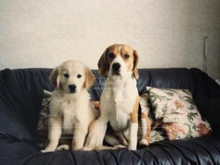 ソファで横になっている茶色と白犬の写真・画像素材[1236421]