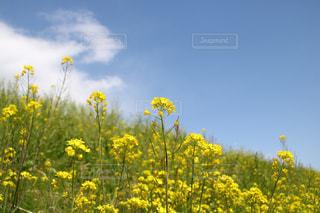 フィールド内の黄色の花の写真・画像素材[1247585]