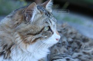 近くに猫のアップの写真・画像素材[1255258]