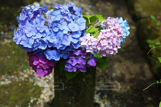 紫陽花,梅雨,6月,鎌倉,明月院,アジサイ