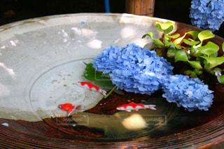 紫陽花,梅雨,6月,鎌倉,アジサイ