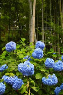 紫陽花,梅雨,6月,明月院,アジサイ