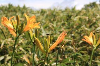 オレンジ色の花の写真・画像素材[1368331]