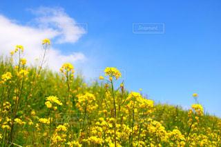 フィールド内の黄色の花の写真・画像素材[1376284]