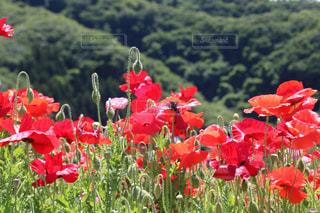 フィールドに赤い花の写真・画像素材[1377146]