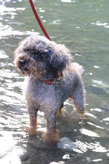 犬,夏,川,トイプードル,奥多摩,夏バテ,熱中症,熱中症対策