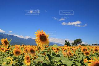 フィールド内の黄色の花の写真・画像素材[1425999]