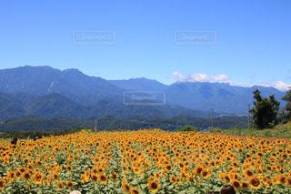 近い背景の山と花畑のアップの写真・画像素材[1426006]