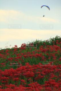 アウトドア,花,スポーツ,赤,雲,青空,パラグライダー,彼岸花,秋空