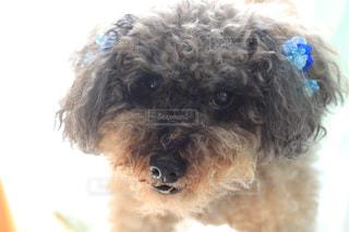 犬,トイプードル,小型犬,ゆるふわパーマ,巻き毛