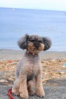 砂浜の上に座っている犬の写真・画像素材[1531410]
