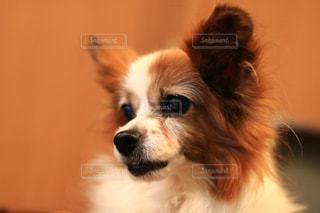 パピヨン,老犬,ポジティブ,看板犬