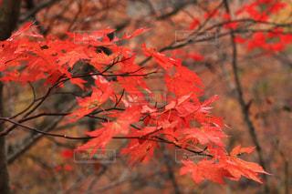 木の枝に赤の花を持つ植物の写真・画像素材[1611838]