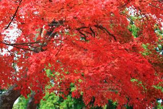 木の赤い花の写真・画像素材[1611895]