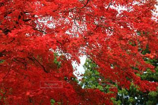 森の中の赤いツリーの写真・画像素材[1611898]