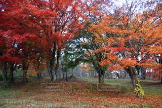 森の大きな木の写真・画像素材[1611907]