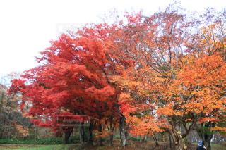 森の大きな木の写真・画像素材[1611909]