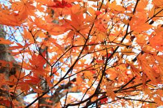 近くにオレンジの木のアップの写真・画像素材[1611913]