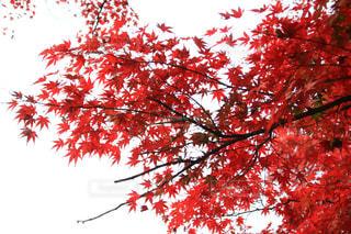 赤い葉の木の写真・画像素材[1611920]