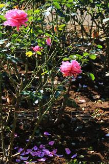 公園,紅葉,観光地,デートスポット,薔薇,バラ園,お散歩,薔薇園,11月,埼玉県,フォトジェニック,さいたま市,秋薔薇,与野公園